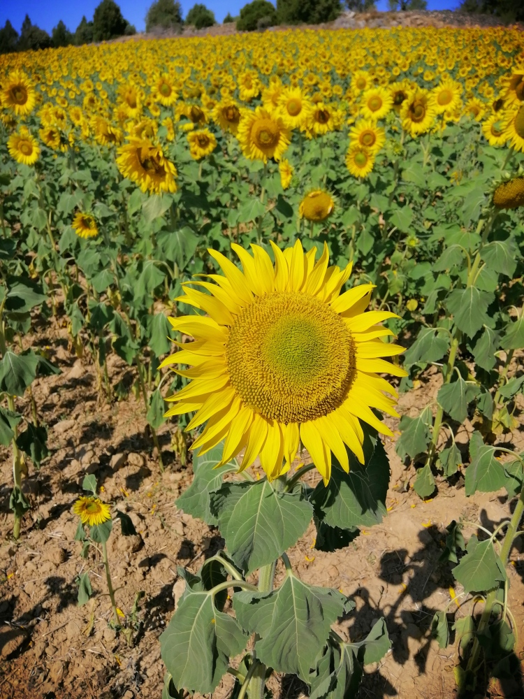 Girasol la flor del sol